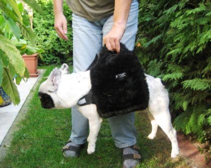 Aladdin mit Hundetragehilfe in Taschenform